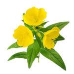 składniki w kosmetykach cannamea - olej z wiesiołka (primrose flower oil)